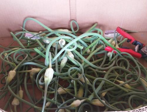 Garden Harvest:  Garlic Scapes!